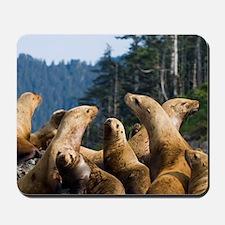Steller sea lions on rookery, Eumetopias Mousepad