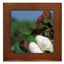 Cotton ready for harvest. Framed Tile