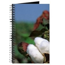 Cotton ready for harvest. Journal
