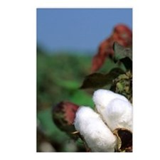 Cotton ready for harvest. Postcards (Package of 8)