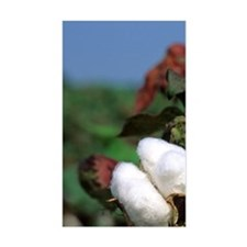 Cotton ready for harvest. Decal