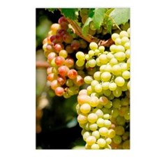 Grapes on the vine. Himar Postcards (Package of 8)