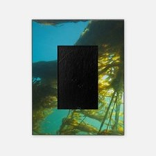 Giant Kelp (Macrocystis integrefolia Picture Frame
