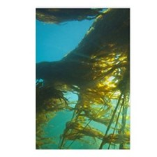 Giant Kelp (Macrocystis i Postcards (Package of 8)