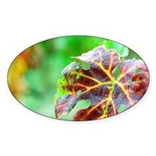 A leaf of Merlot grape in early aut Decal