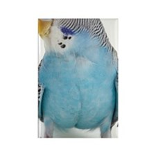 blue parakeet Rectangle Magnet