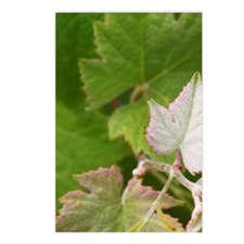 A vine shoot on a Pinot M Postcards (Package of 8)