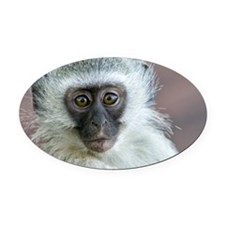 Vervet Monkey Oval Car Magnet