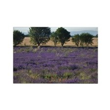 France, Provence. Rows of lavende Rectangle Magnet