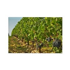 Cabernet Sauvignon vines in a row Rectangle Magnet