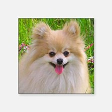 "Pomeranian Square Sticker 3"" x 3"""