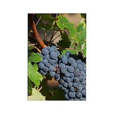 A cabernet Sauvignon vine, circa  Rectangle Magnet