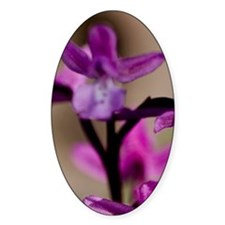 Crete. Four-spotted orchid in bloom Decal