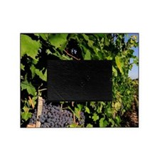 Greve. Chianti grapes from the viney Picture Frame