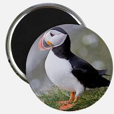 Shown here in breeding colorsc seabird, sho Magnet
