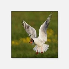 "Hethnar. Black-headed gull  Square Sticker 3"" x 3"""