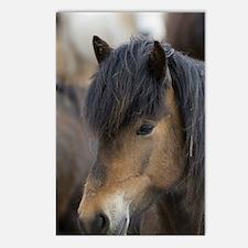 Icelandic horses, Skagafj Postcards (Package of 8)