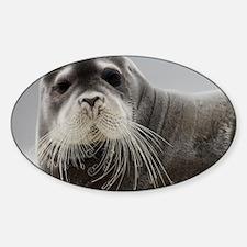 Portrait of Bearded Seal (Erignathu Sticker (Oval)