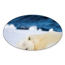 Polar Bear (Ursus maritimus) curls  Decal