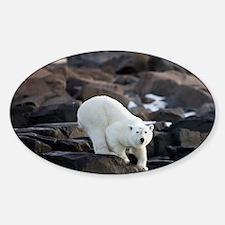 Young Polar Bear (Ursus maritimus)  Sticker (Oval)