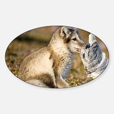 Arctic Fox (Vulpes lagopus) playing Decal