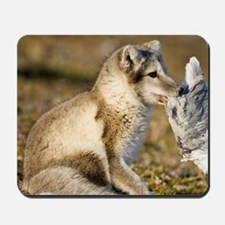 Arctic Fox (Vulpes lagopus) playing with Mousepad