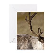 Reindeer (Rangifer tarandus) grazing Greeting Card