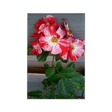 Fourth of July climbing rose Rectangle Magnet