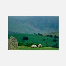 Sheep grazing in distanceingdom,  Rectangle Magnet