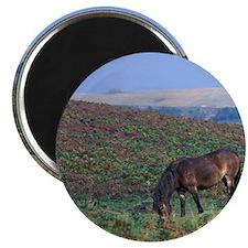 Europe, England, Devon, Exmoor. Exmoor poni Magnet
