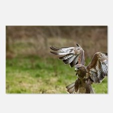 UK. Common Buzzard (Buteo Postcards (Package of 8)