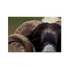 Scotland, Isle of Skye. Sheep por Rectangle Magnet
