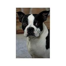 Boston Terrier 2 Rectangle Magnet