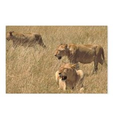 3 hunting lions Postcards (Package of 8)