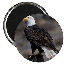 bald_eagle_cafe Magnet