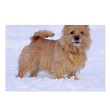 norwich_terrier_1_nelio Postcards (Package of 8)