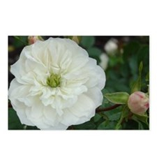 Dainty White Rose Postcards (Package of 8)