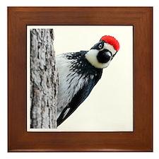 Acorn Woodpecker Bird T-Shirt Framed Tile