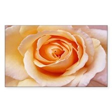 AFP 21b Creamy orange rose Decal