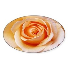 AFP 21b Creamy orange rose Decal
