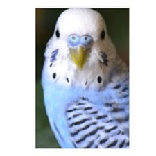 Budgies 013 Postcards (Package of 8)