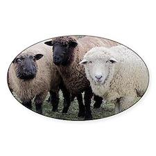 3 Sheep at Wachusett Decal