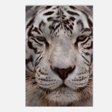 (14) White Tiger 4 Postcards (Package of 8)