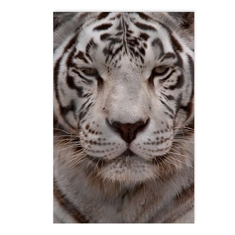 (9) White Tiger 4 Postcards (Package of 8)