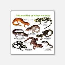 "Salamanders of North Americ Square Sticker 3"" x 3"""