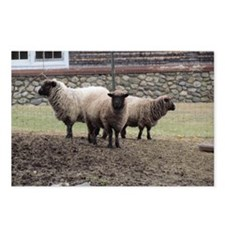 3 Sheep at odds Postcards (Package of 8)