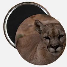 (2) Mountain Lion 1 Magnet