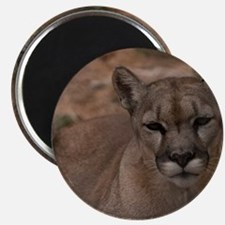 (4) Mountain Lion 1 Magnet