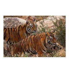(12) Tigers Two Walking Postcards (Package of 8)