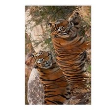 (12p) Tigers Two Walking Postcards (Package of 8)